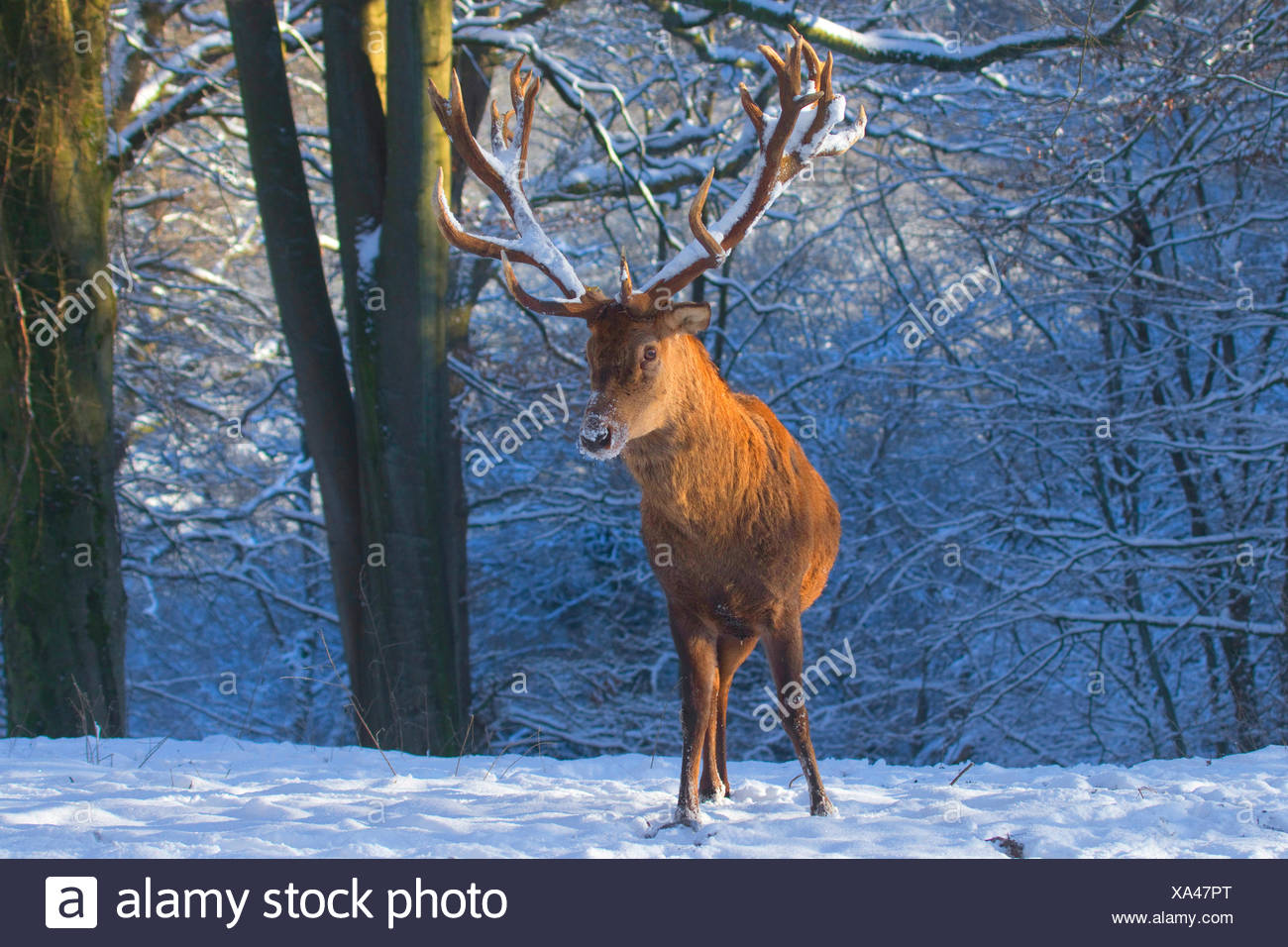 red deer (Cervus elaphus), impressive stag in winter, Germany, North Rhine-Westphalia - Stock Image