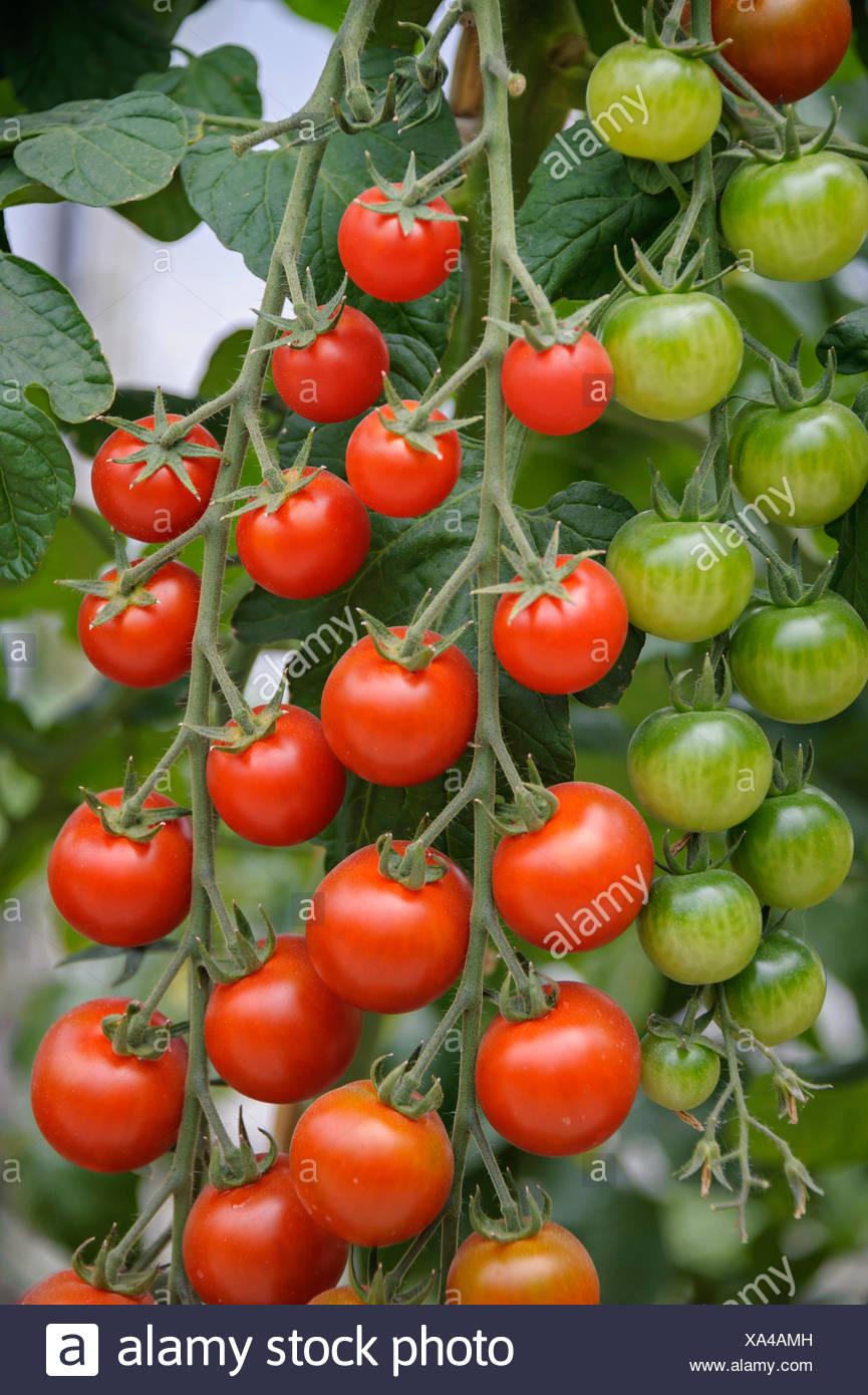 garden tomato (Solanum lycopersicum 'Picolino', Solanum lycopersicum Picolino, Lycopersicon esculentum), plant with mature and immature tomatoes, cultivar Picolino - Stock Image