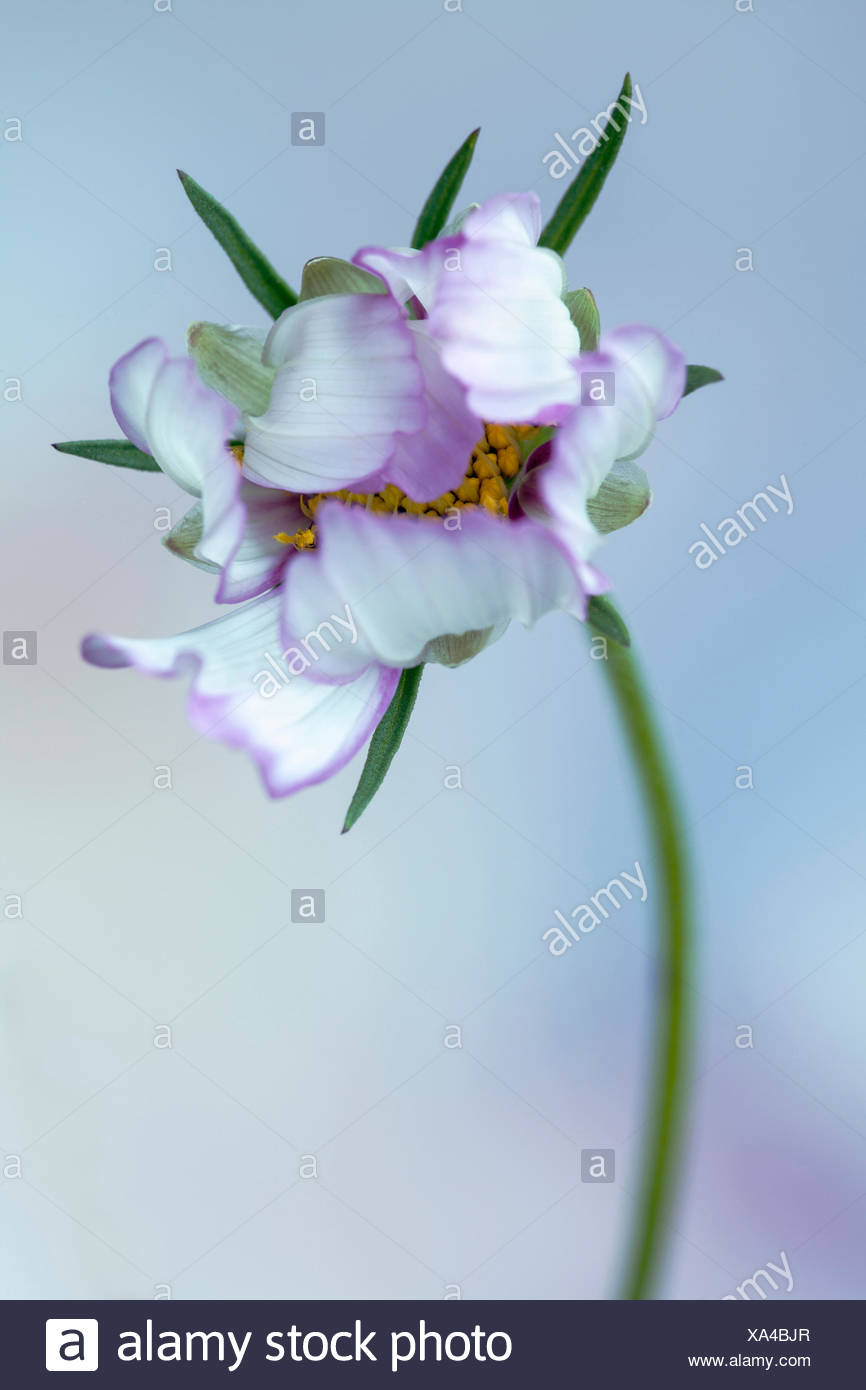 Cosmos bipinnatus 'Daydream', Front view of one opening flower, yellow stamens half hidden by white petals tinged with pink edges, Against soft focus blue background. - Stock Image