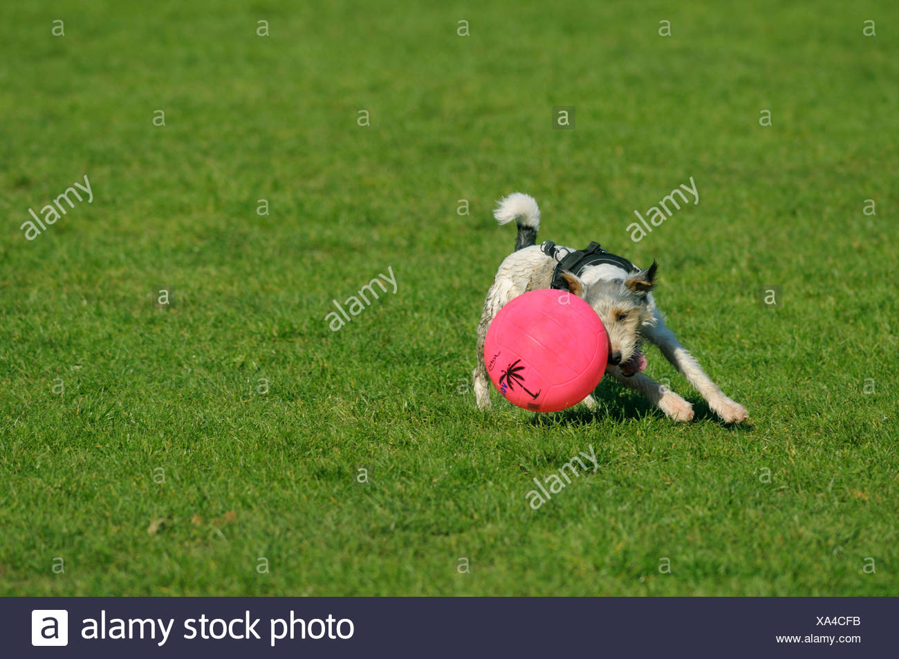 Terrier directing his pink coloured ball to the left whilst running flat-out - Stock Image