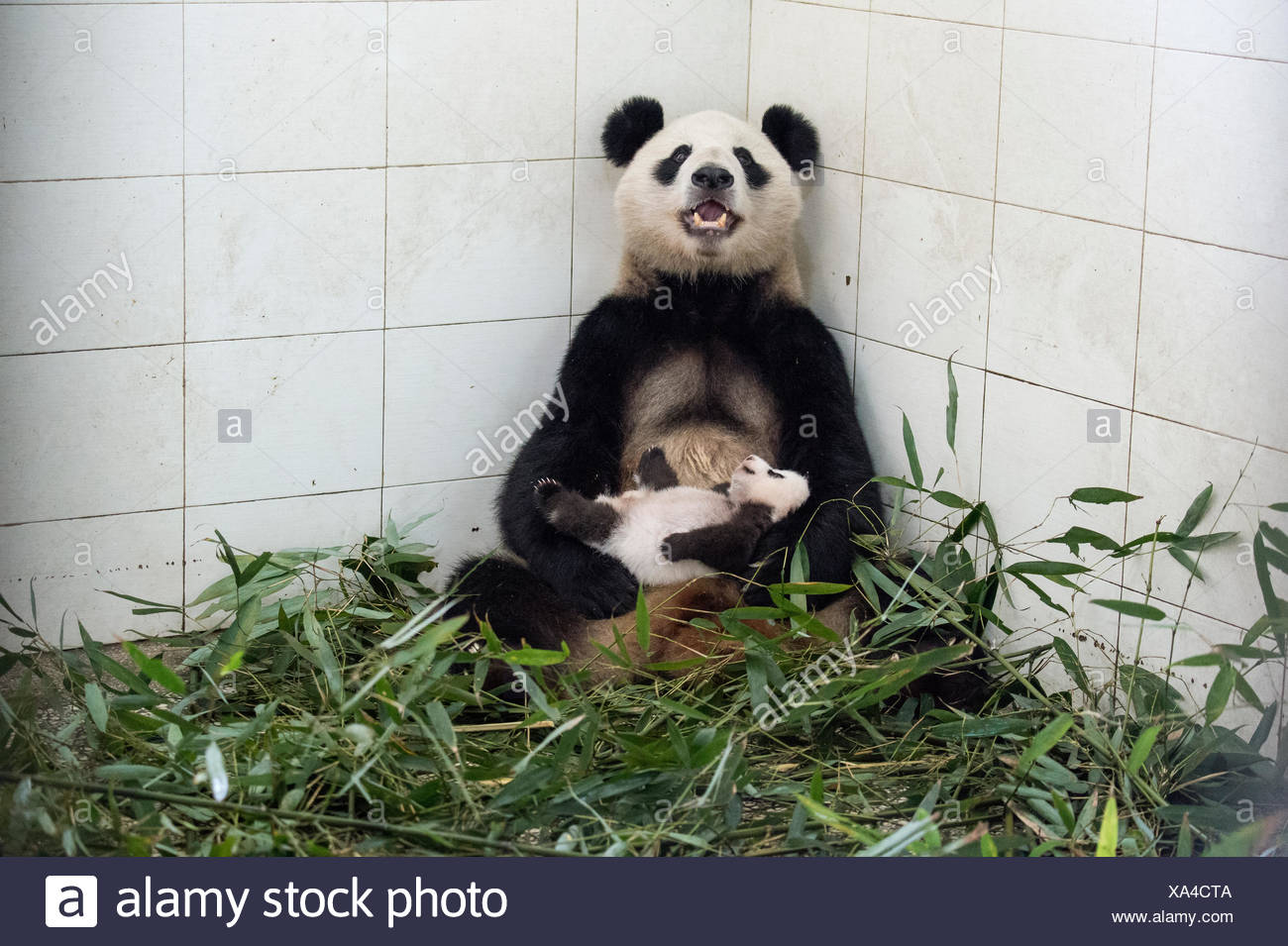 A giant panda mother with her cub at the Ya'an Bi Feng Xia Base. - Stock Image