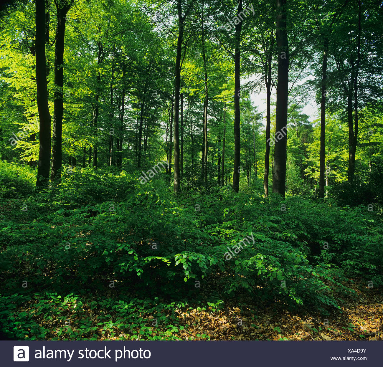 Beech forest with undergrowth, North Rhine-Westphalia, Germany, Europe Stock Photo