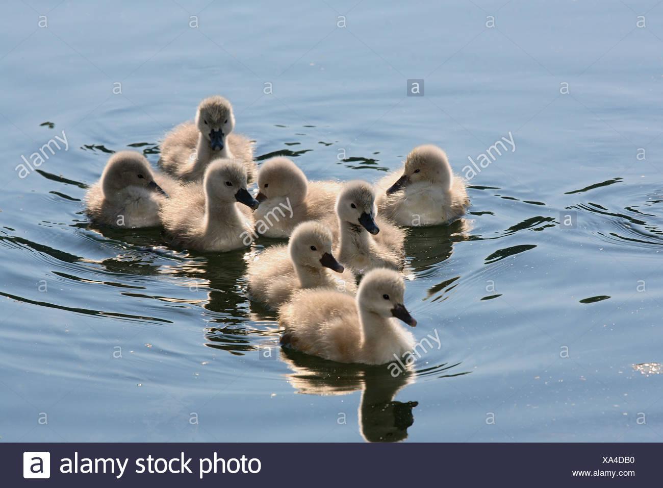 mute swan - fledglings / Cygnus olor - Stock Image