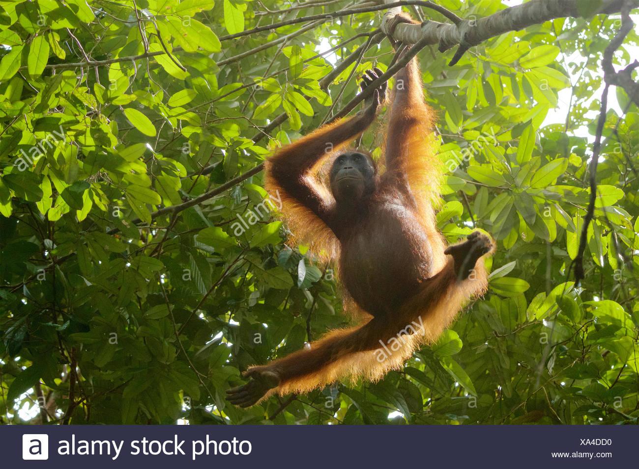 An adult female orangutan, Pongo pygmaeus wurmbii, hangs from a tree in Gunung Palung National Park. - Stock Image