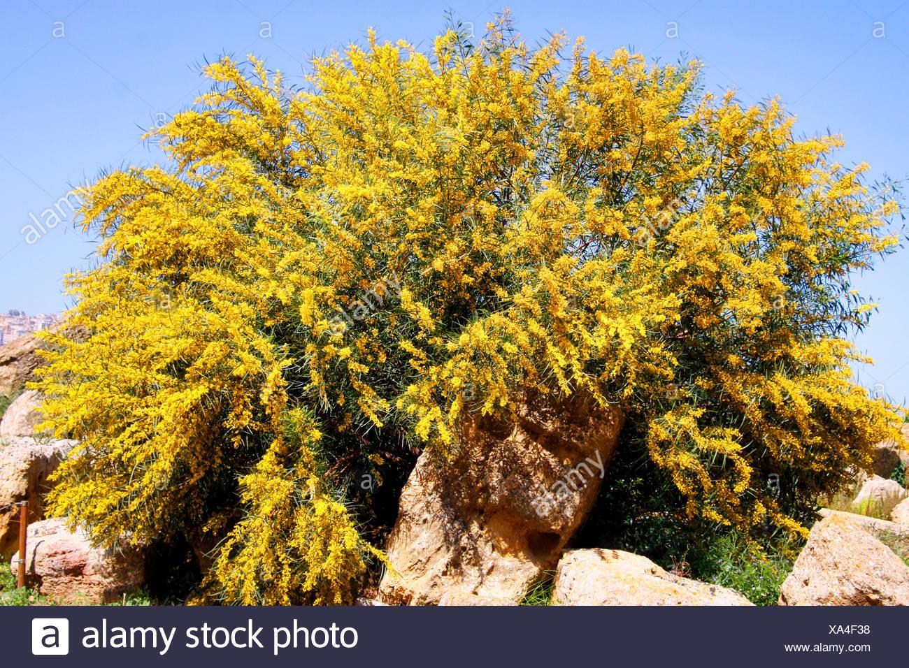 acacias (Acacia spec.), blooming acacia, Italy, Sicilia - Stock Image