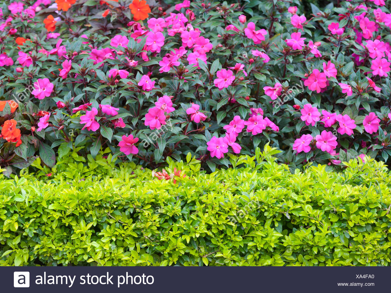 Bushes With Pink Flowers Stock Photo 281612296 Alamy
