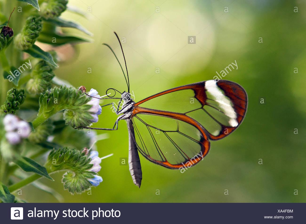 Glasswinged Butterfly In Butterfly House Stock Photo 281612344 Alamy