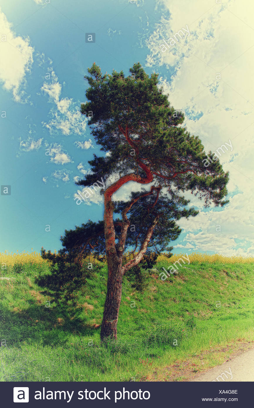 Conifer - Stock Image