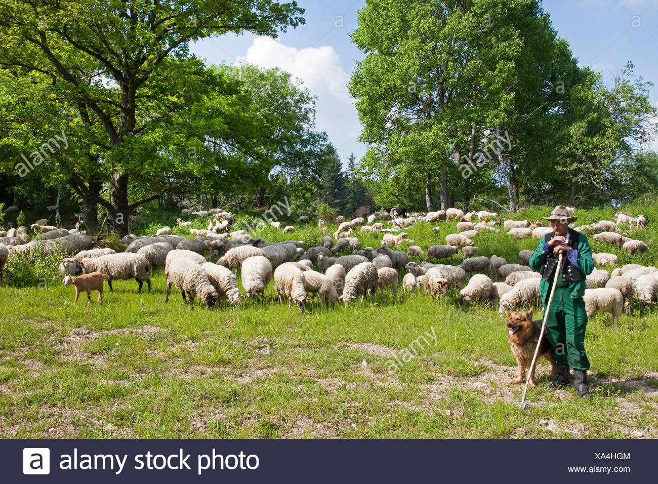 Merino sheep (Ovis ammon f. aries), sheepherd tending with a sheepdog a flock of sheep , Germany - Stock Image