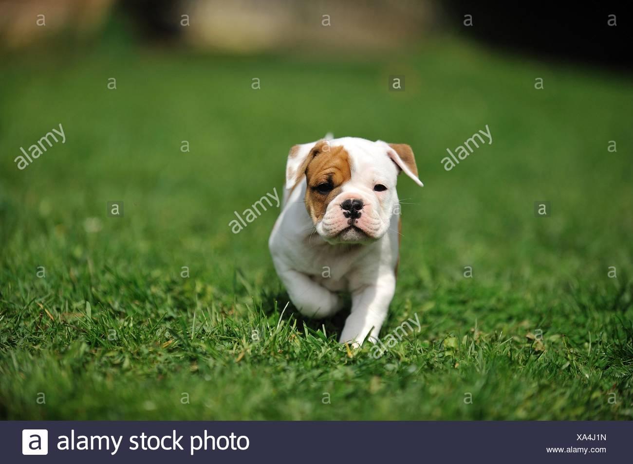 Continental Bulldog Puppy Stock Photo Alamy
