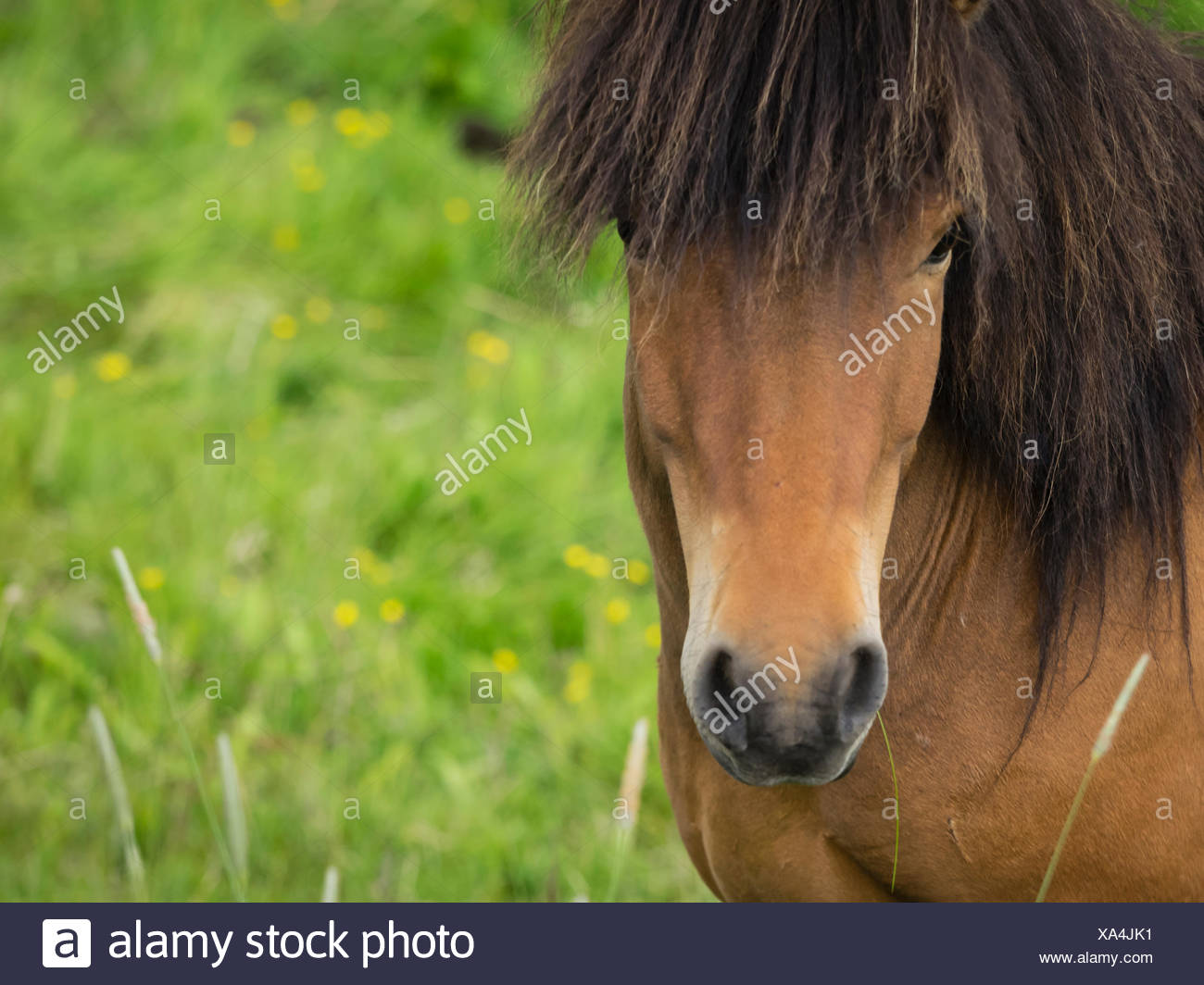An Icelandic bay horse with long mane and forelock. - Stock Image