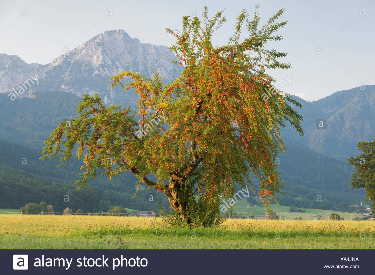 Fruit-tree  in Anger with Hochstaufen in the background - Stock Image