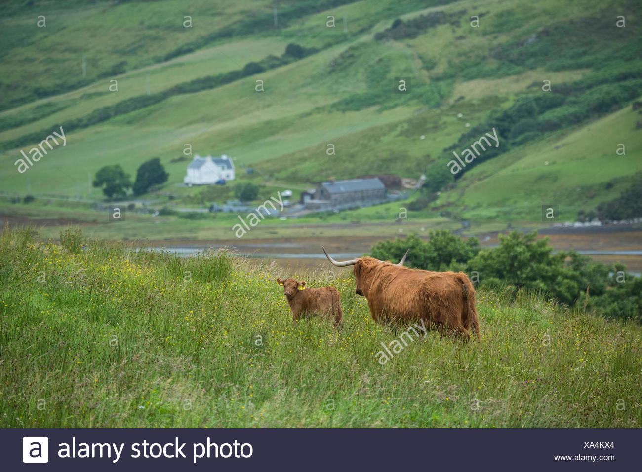 Scotland, Hebrides archipelago, Isle of Skye, Bos taurus, Highland cattle - Stock Image