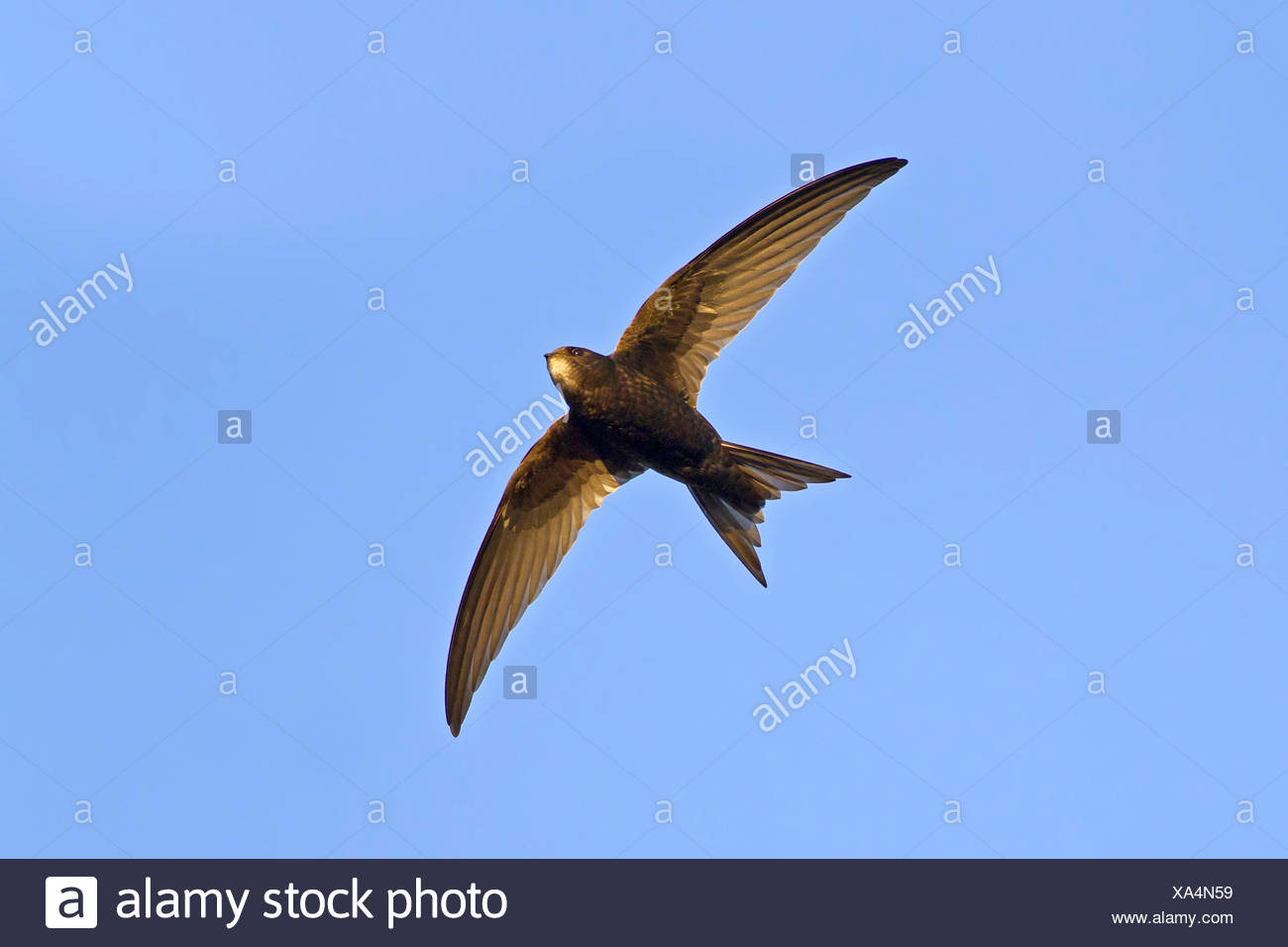 Eurasian swift (Apus apus), in flight, from below, Germany, Baden-Wuerttemberg - Stock Image