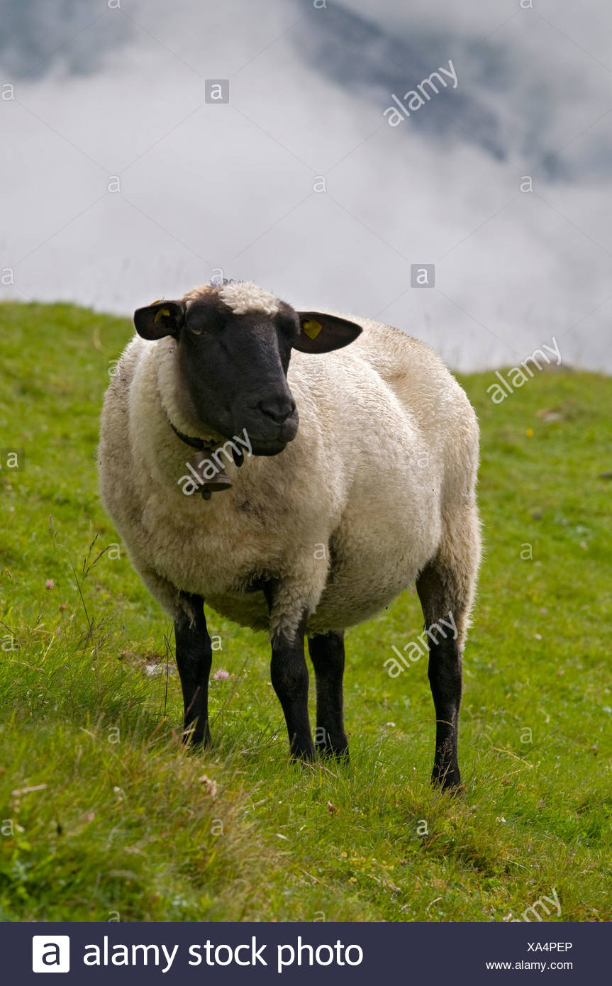 Black-headed sheep, Sonnberg-Alm alpine pasture, St. Sigmund, Sellrain, Tyrol, Austria, Europe - Stock Image