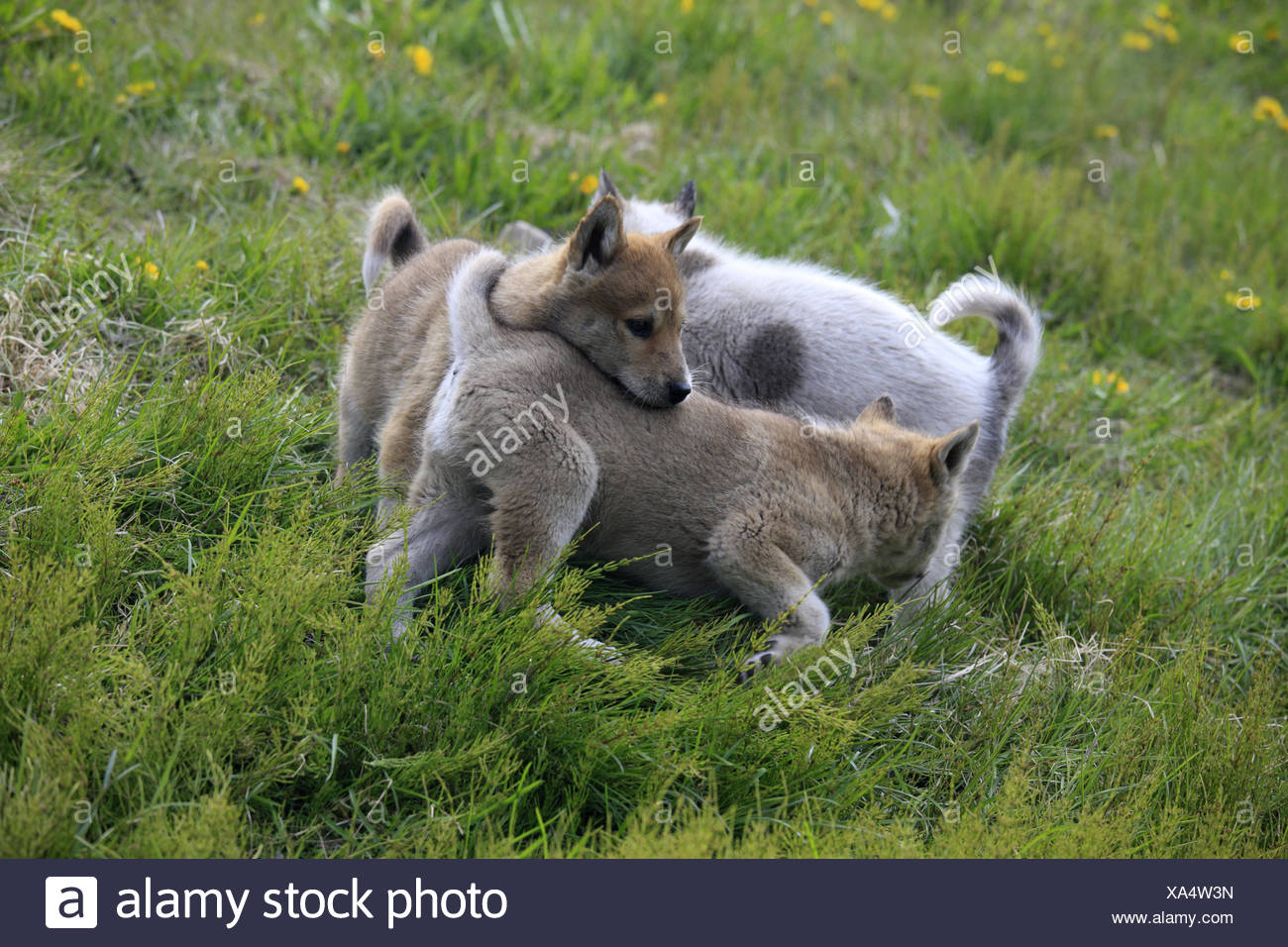 Greenland, Sisimiut, sled dogs, huskies, puppies, loses, meadow, Western Greenland, animals, dogs, benefit animals, outside, deserted, keeping of pets, young animals, young animals, play, nicely, sweetly, small, three, - Stock Image