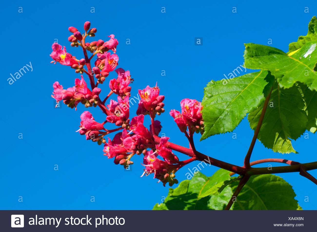 Red horse chestnut bloom (Aesculus hippocastanum), Bushs Pasture Park, Salem, Oregon. - Stock Image
