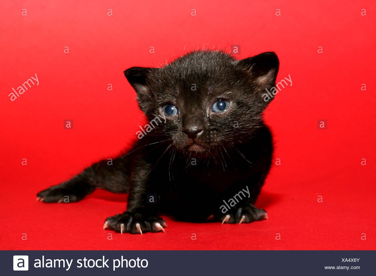 one week old kitten on red background nails protruding - Stock Image