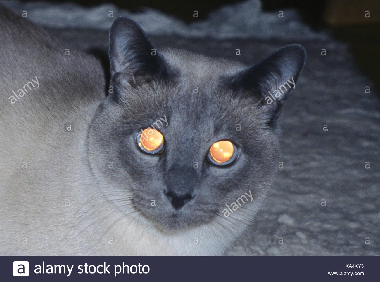 Cats, Tonkanese, darkness, eyes, detail, shine, reflect, animals, mammals, mammal, pets, house cats, portrait, cat's portrait, cats, Felidae, race cat, look, head, moments, Siam cat, reflexion, reflectors, night, darkness, shine, - Stock Image
