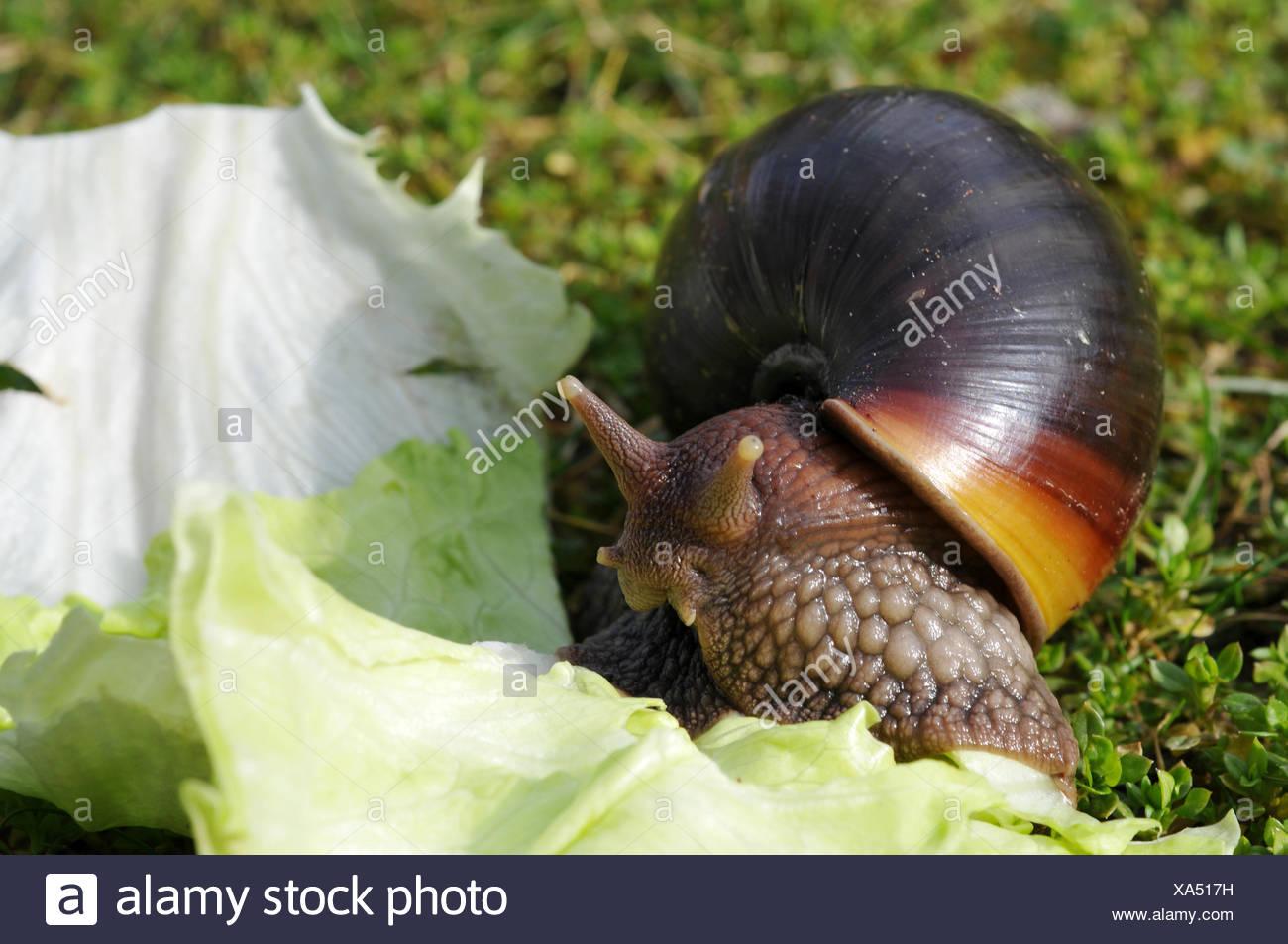 afrikanische riesenschnecke riesenschnecke Stock Photo