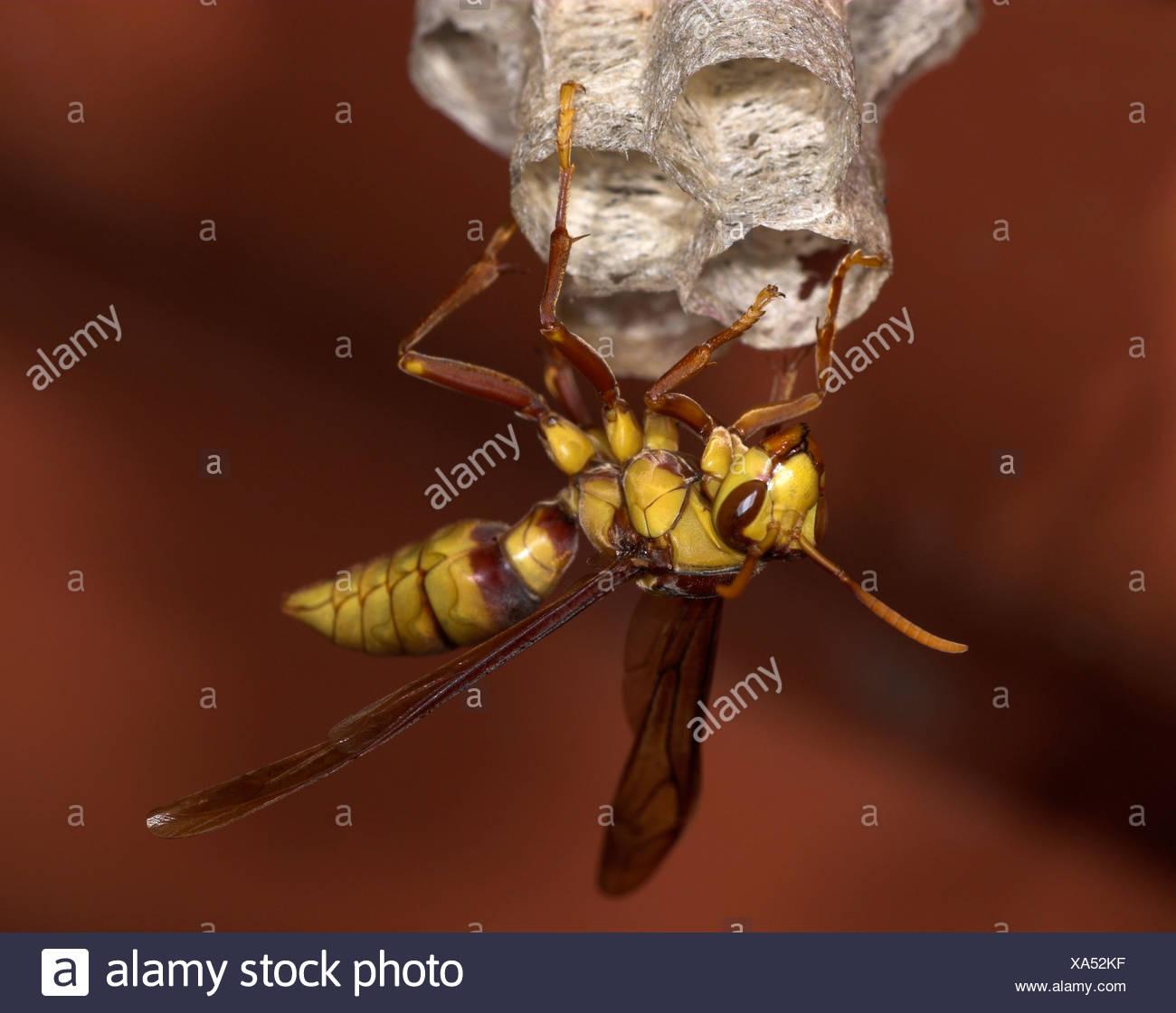Paper Wasp subfamily Polistinae Costa Rica Stock Photo