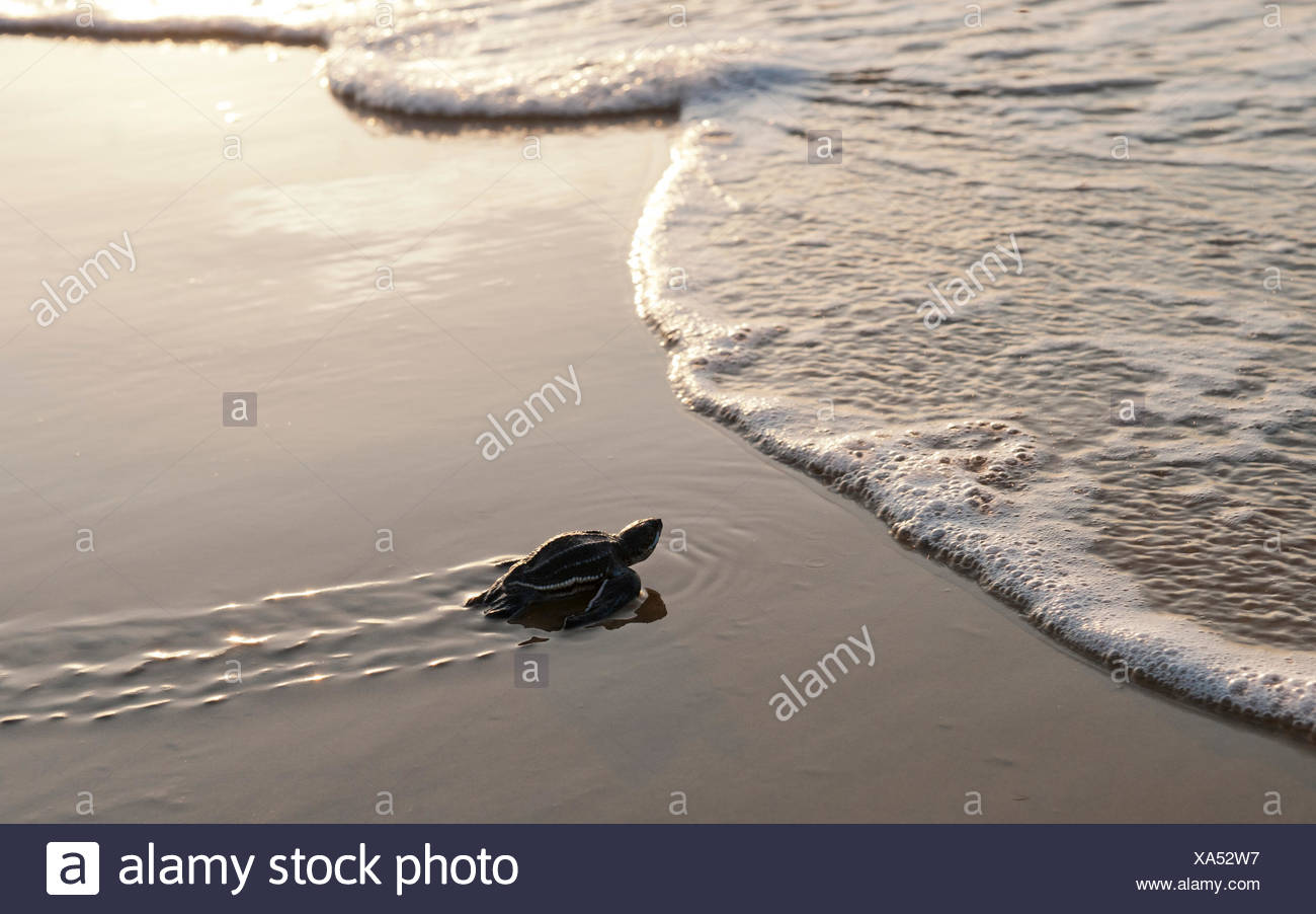 A hatchling Leatherback Turtle (Dermochelys coriacea) nearing the waters edge Cayenne French Guiana - Stock Image