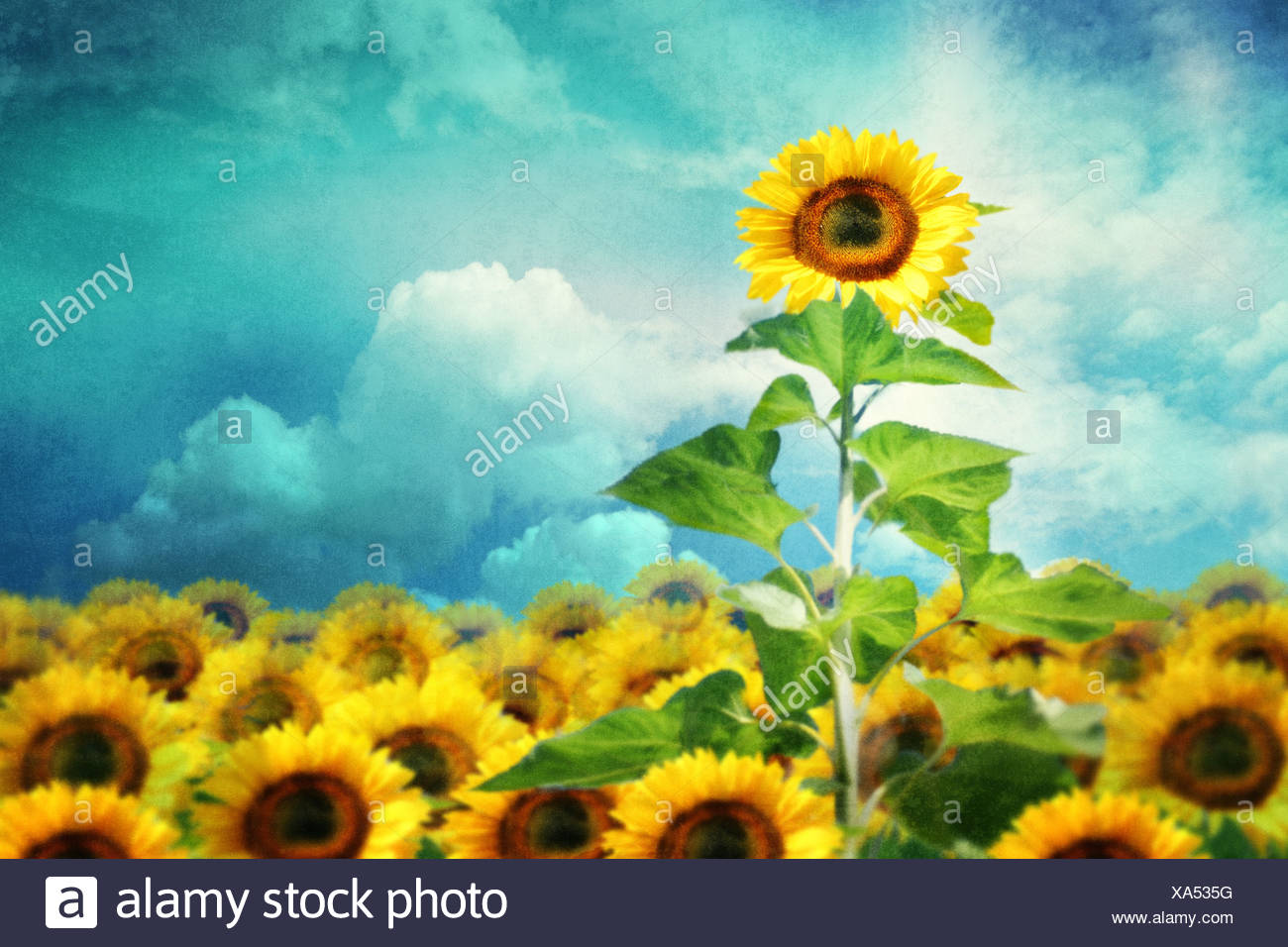 concept image of a tall sunflower standing out from the rest - Stock Image