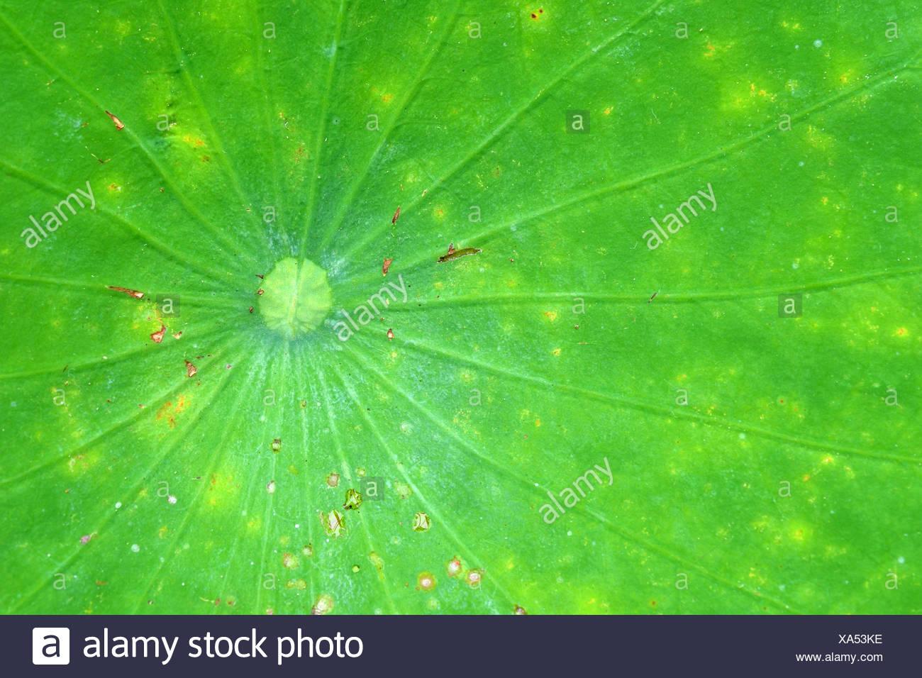 Veins of a lotus leaf. - Stock Image