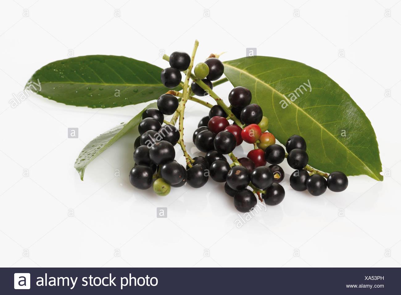 Cherry laurel (Prunus laurocerasus), fruits - Stock Image