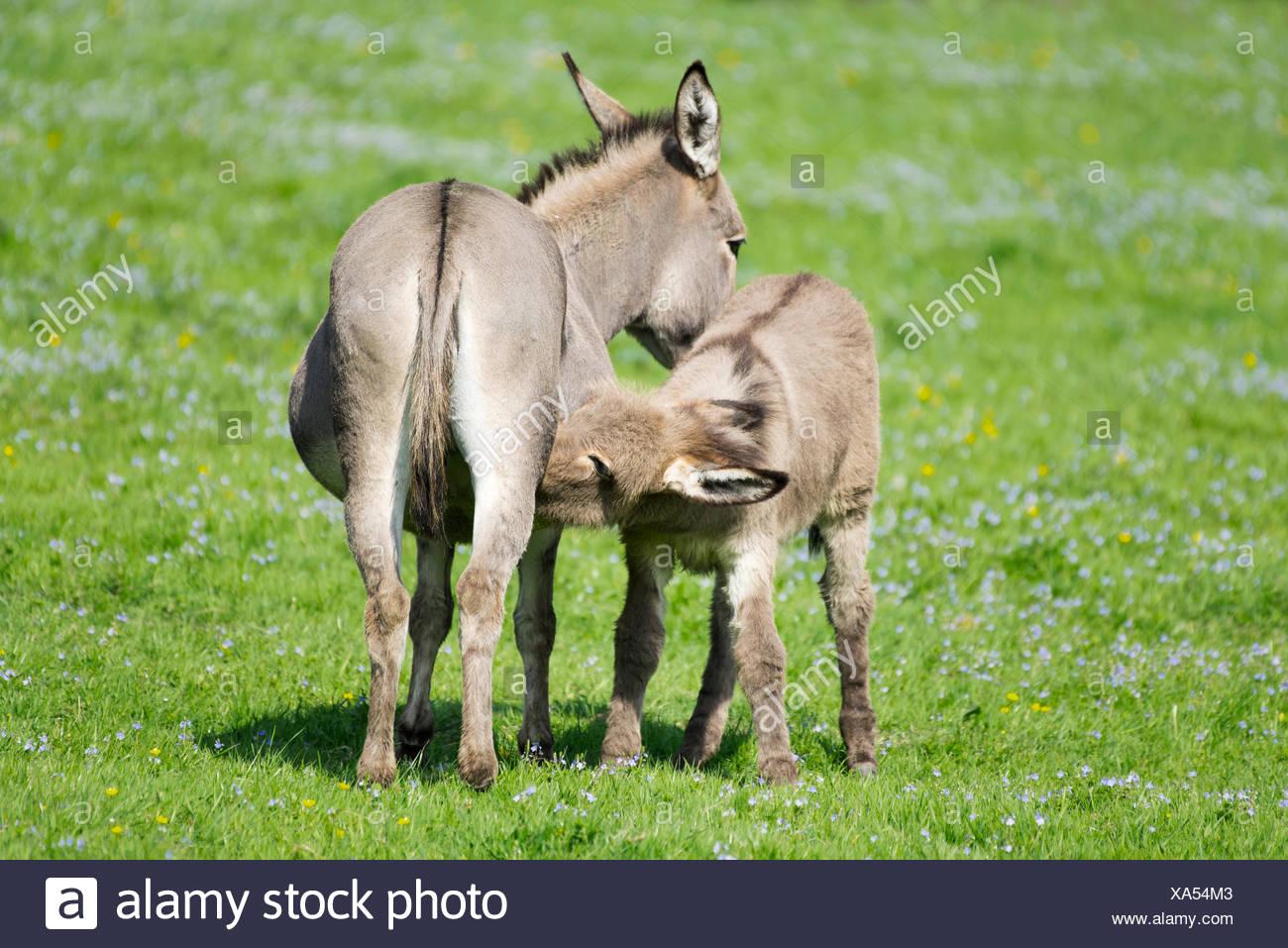 Domestic donkeys (Equus asinus asinus), mare suckling foal, Germany - Stock Image
