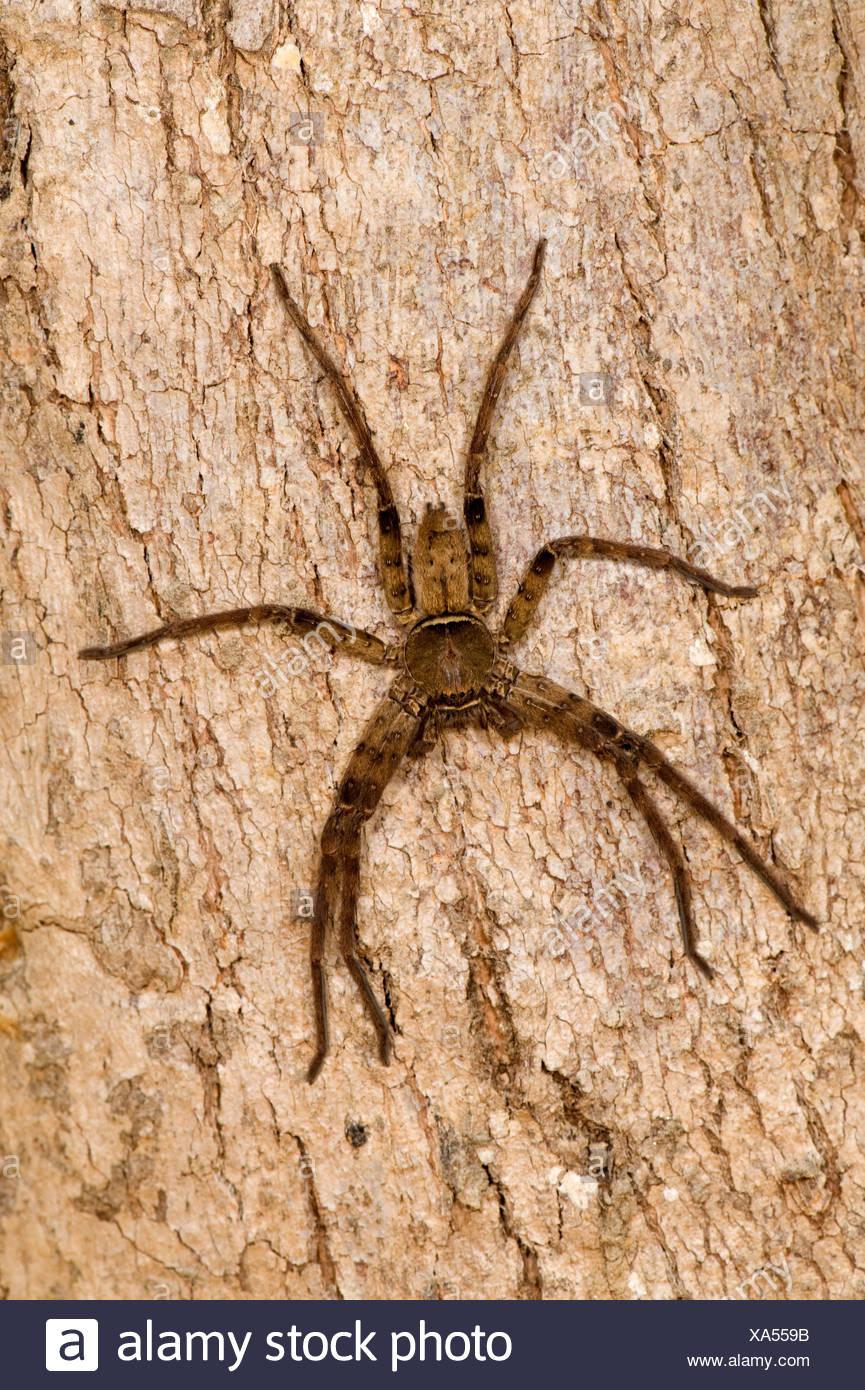 Huntsman spider Heteropoda venatoria India - Stock Image