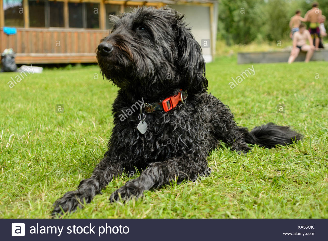 dog photo - black schnauzer - Stock Image