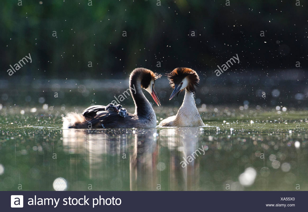 A pair of great crested grebes, Podiceps cristatus, courts following a territorial dispute with a neighboring pair. One adult has their chicks on its back. - Stock Image