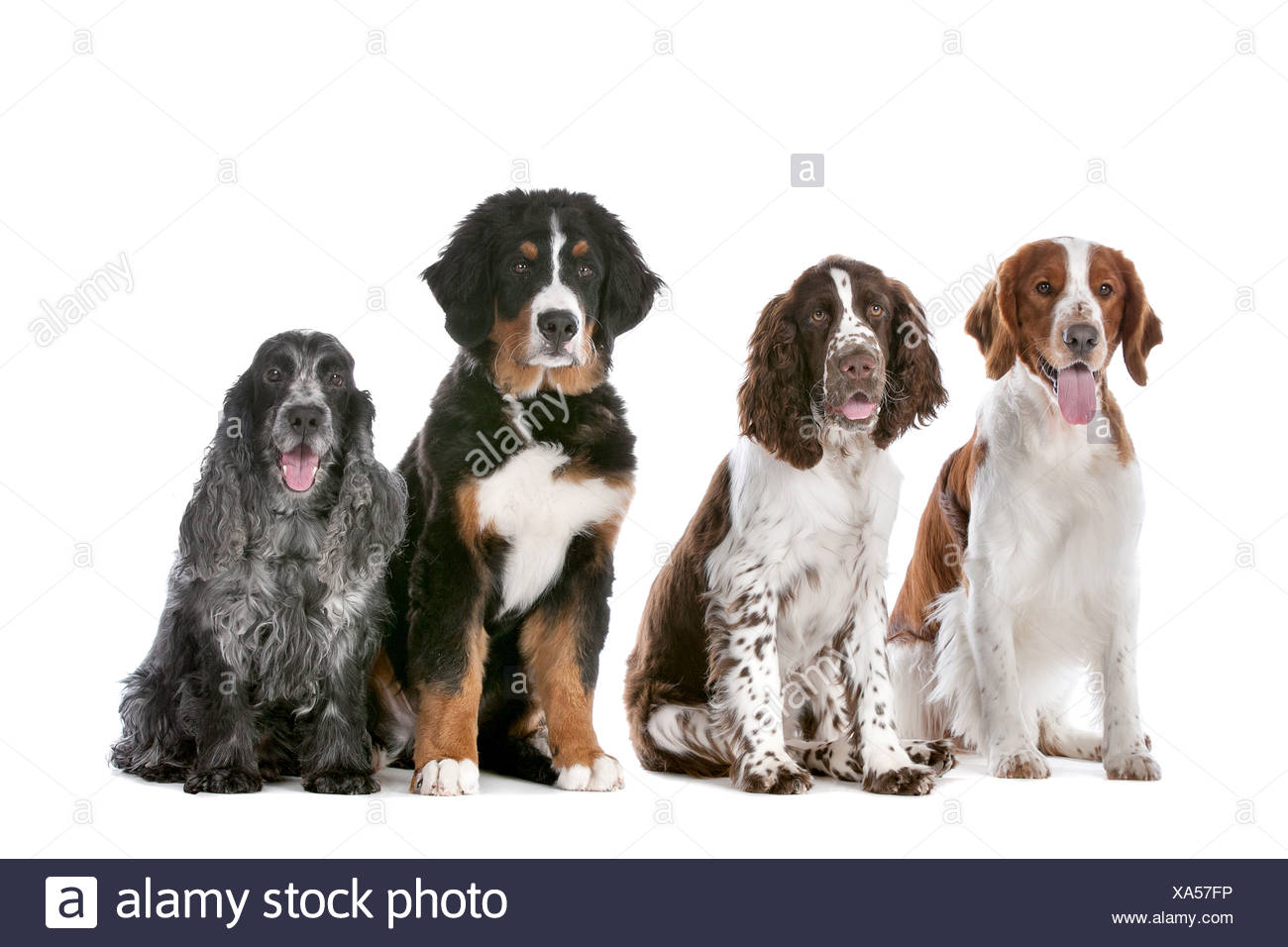 Two Springer Spaniels One Bernese Mountain Dog Puppy And A Cocker Spaniel Stock Photo Alamy