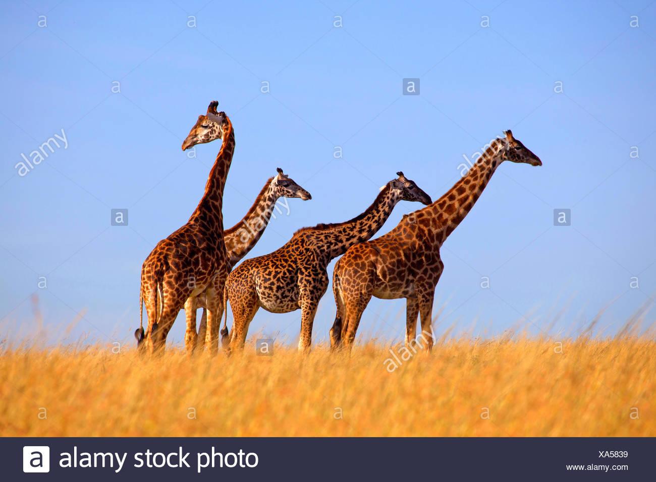 Masai giraffe (Giraffa camelopardalis tippelskirchi), four giraffes stand in savannah, Kenya, Masai Mara National Park - Stock Image
