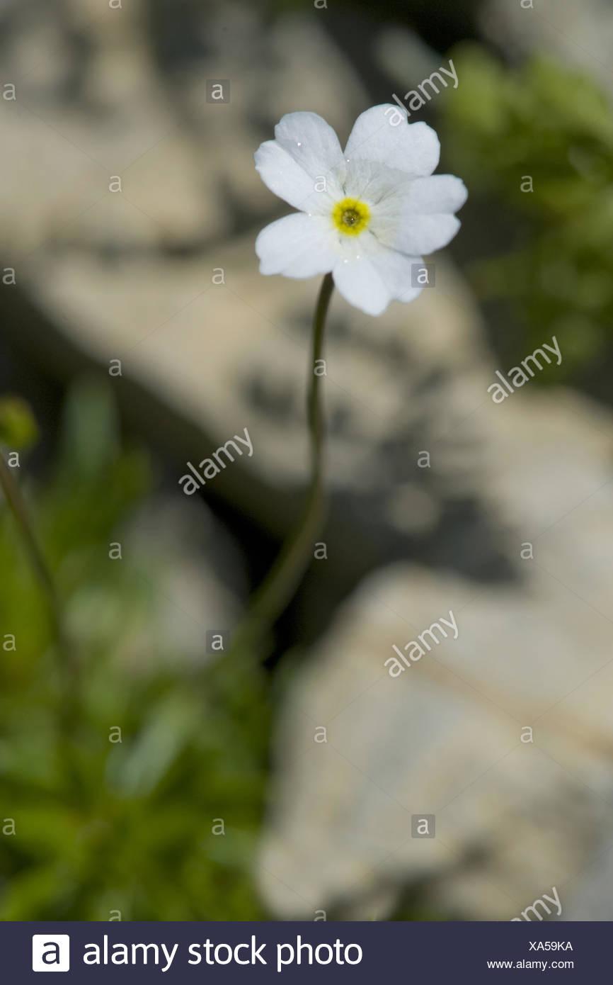Flowers White Rock Jasmine Androsace Stock Photos Flowers White