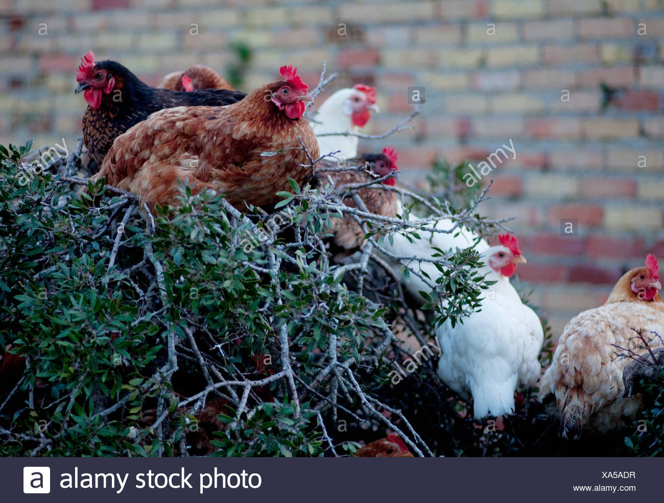 Chickens roosting on tree - Stock Image