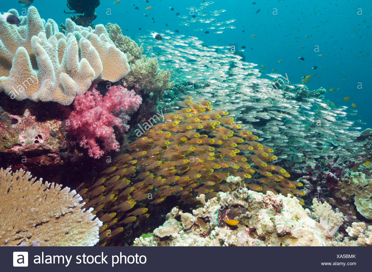 Pygmy sweepers in foreground with unidentified Sweepers in background. Andaman Sea, Thailand. - Stock Image