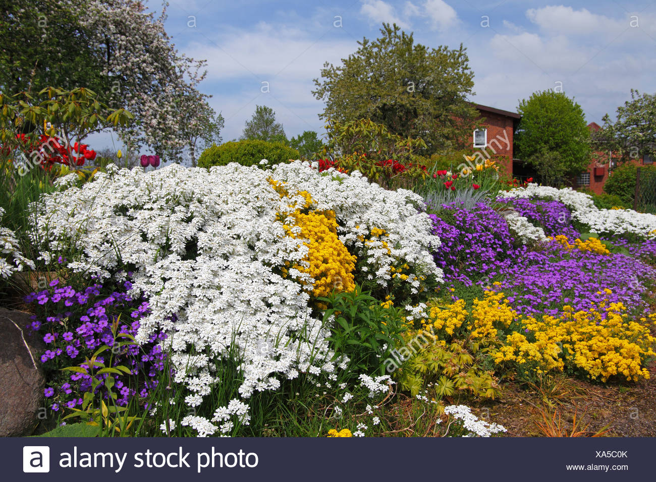Rural garden in the spring with herbaceous plants like white Evergreen Candytuft (Iberis sempervirens), yellow Basket of Gold or - Stock Image