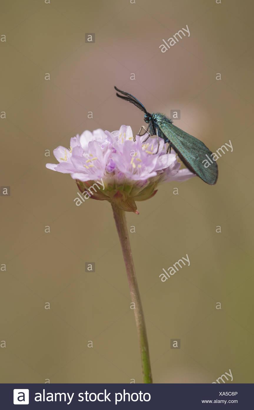 Forester (Procridinae), Germany - Stock Image