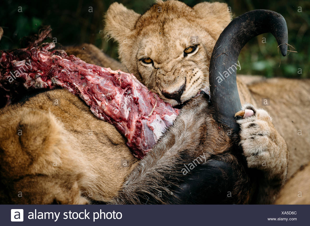 A young lion, Panthera leo, on a wildebeest carcass. - Stock Image