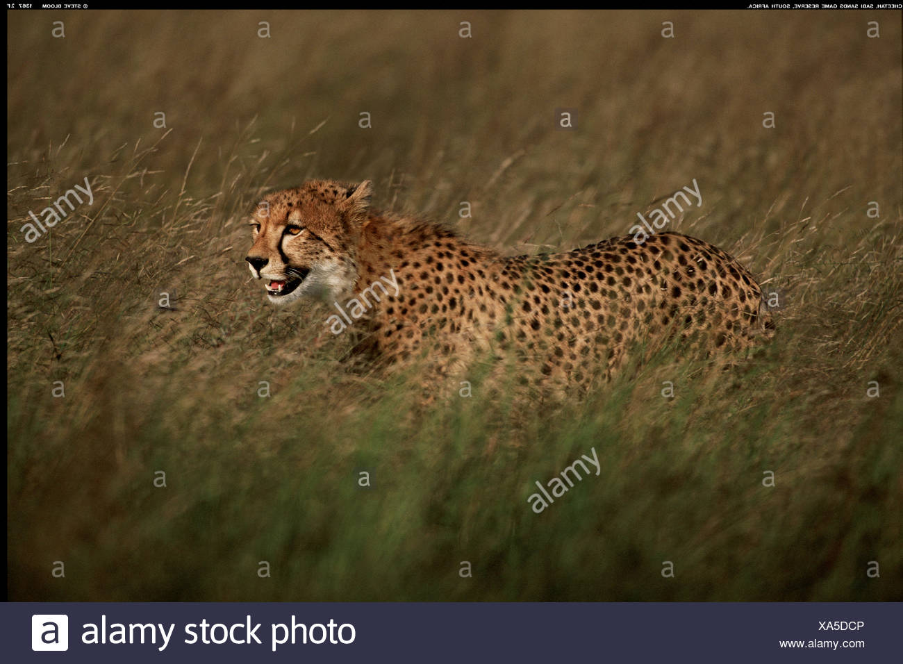 Cheetah In Long Grass South Africa Stock Photo 281632758