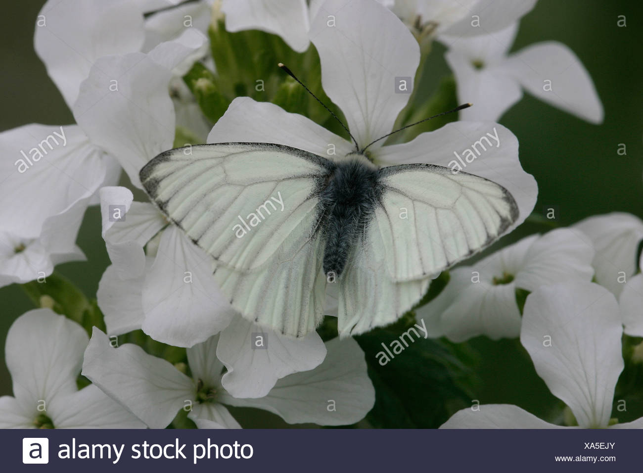 Dark-veined white drinking nectar from the flower of a white Lunaria annua - Stock Image
