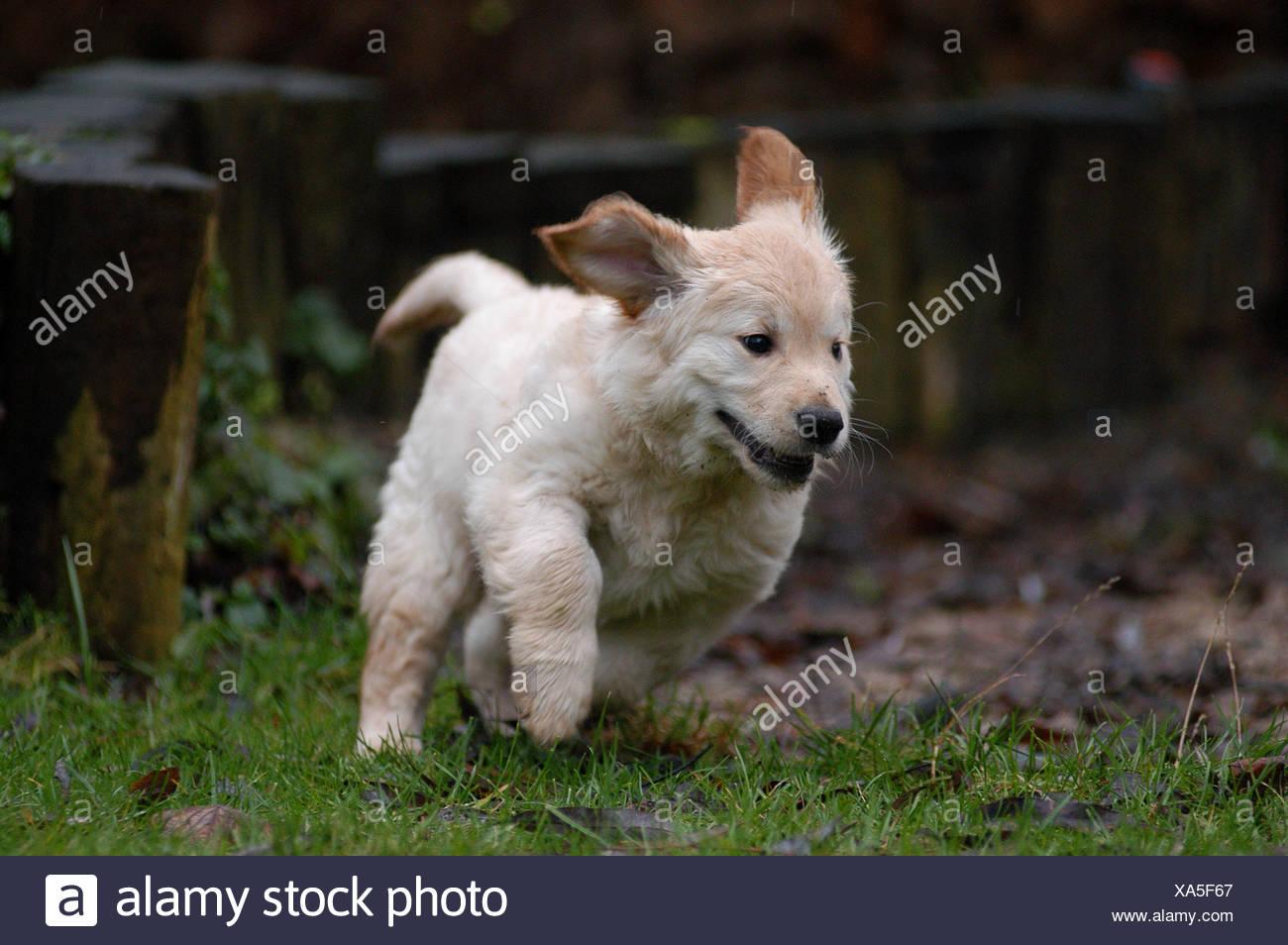 Golden Retriever Puppy Running Stock Photo 281634143 Alamy