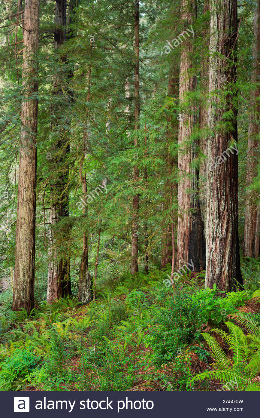 Redwoods trees tree forest Oregon OR USA America United States Sequoia sempervirens green red mist misty fog foggy sunset, - Stock Image