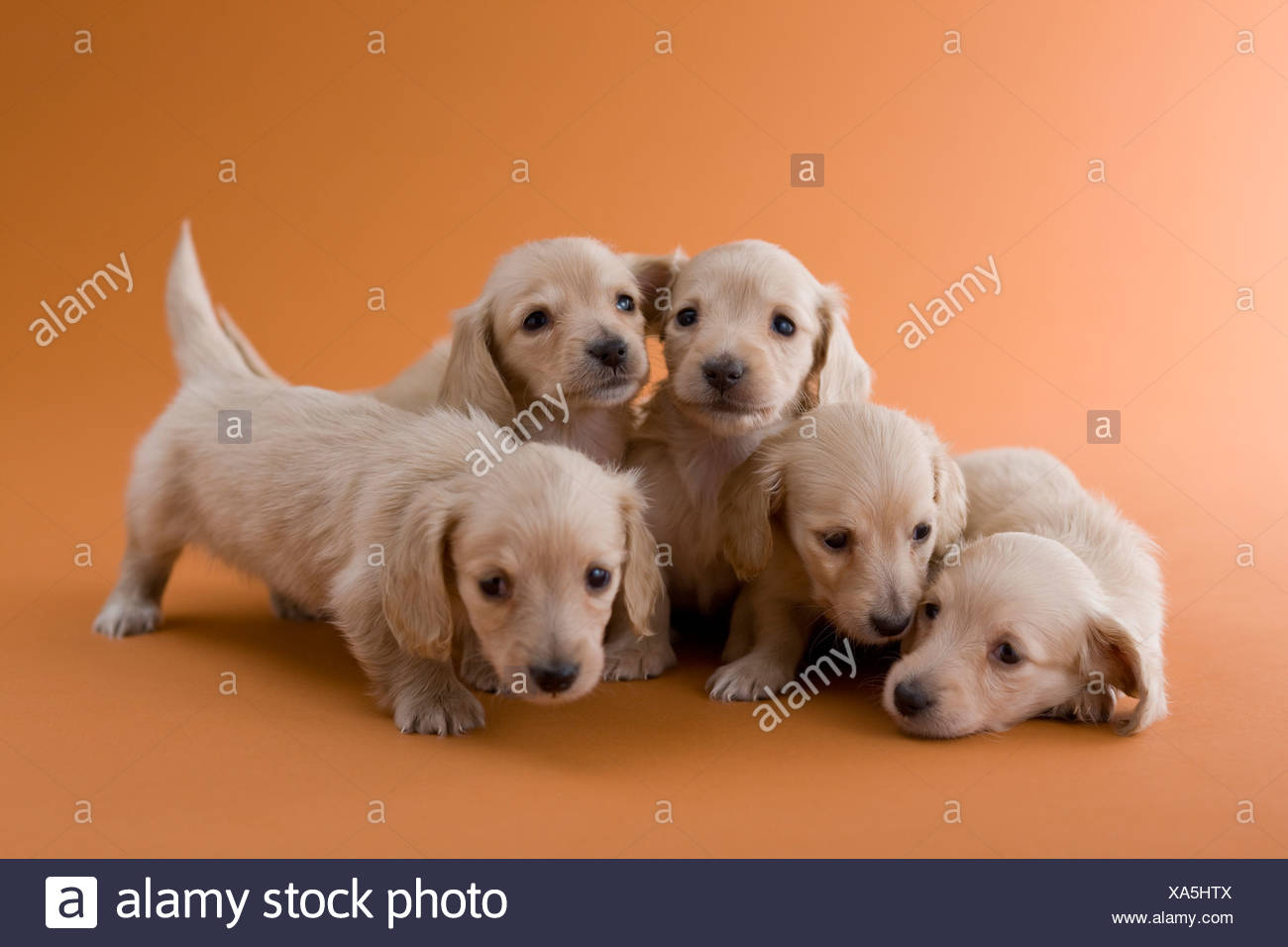 Five Dachshund Puppies Stock Photo Alamy