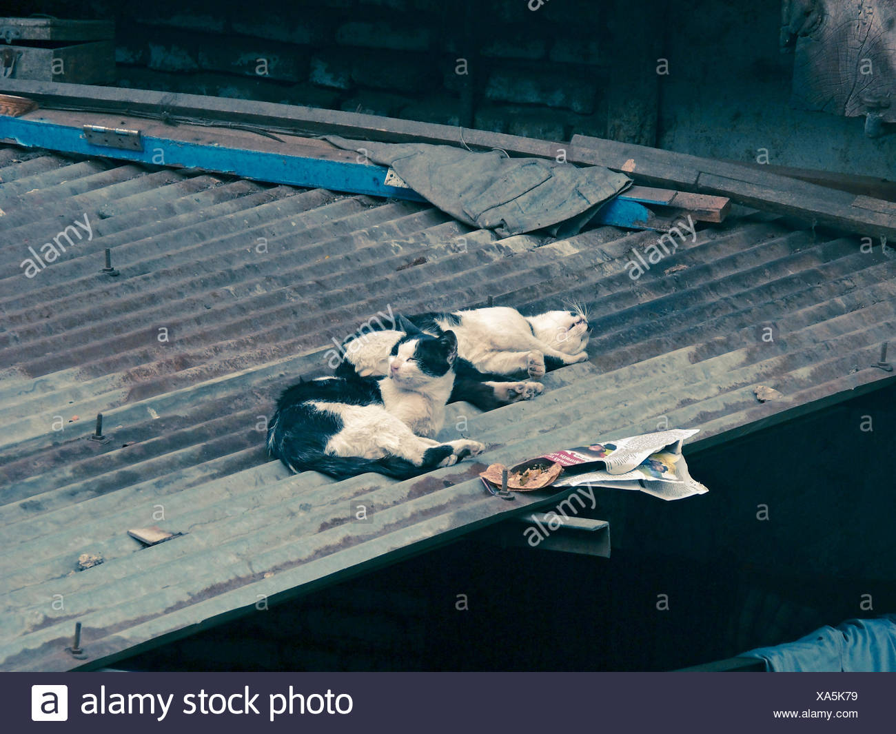 Cats on a roof of Galvanized sheet - Stock Image