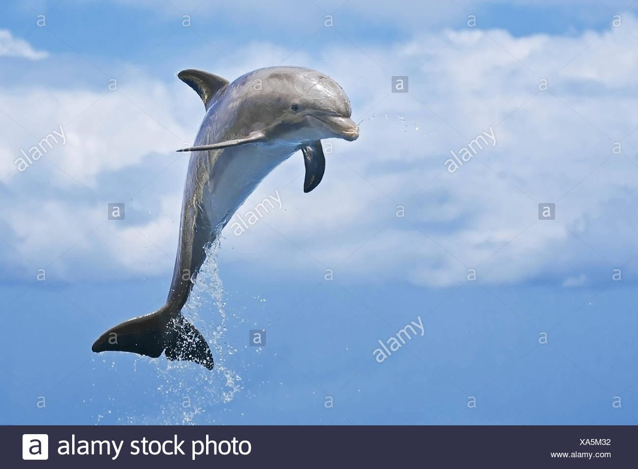 Juvenile Bottlenose Dolphin, Tursiops truncatus, Caribbean, Bahamas Stock Photo