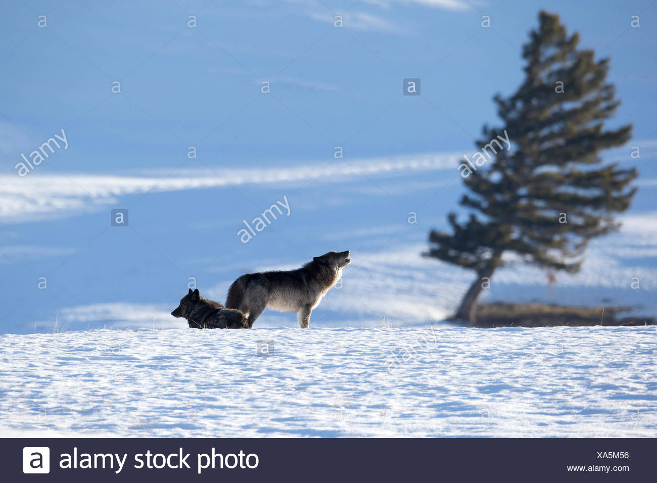 A gray wolf, Canis lupus, howls on a snowy field as another wolf rests close by. - Stock Image