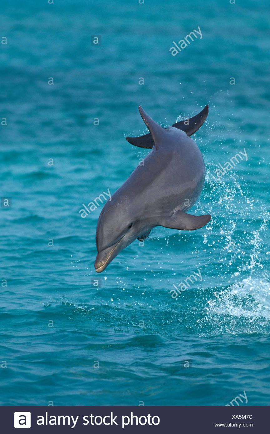Bottlenose Dolphin, tursiops truncatus, Leaping, Honduras Stock Photo